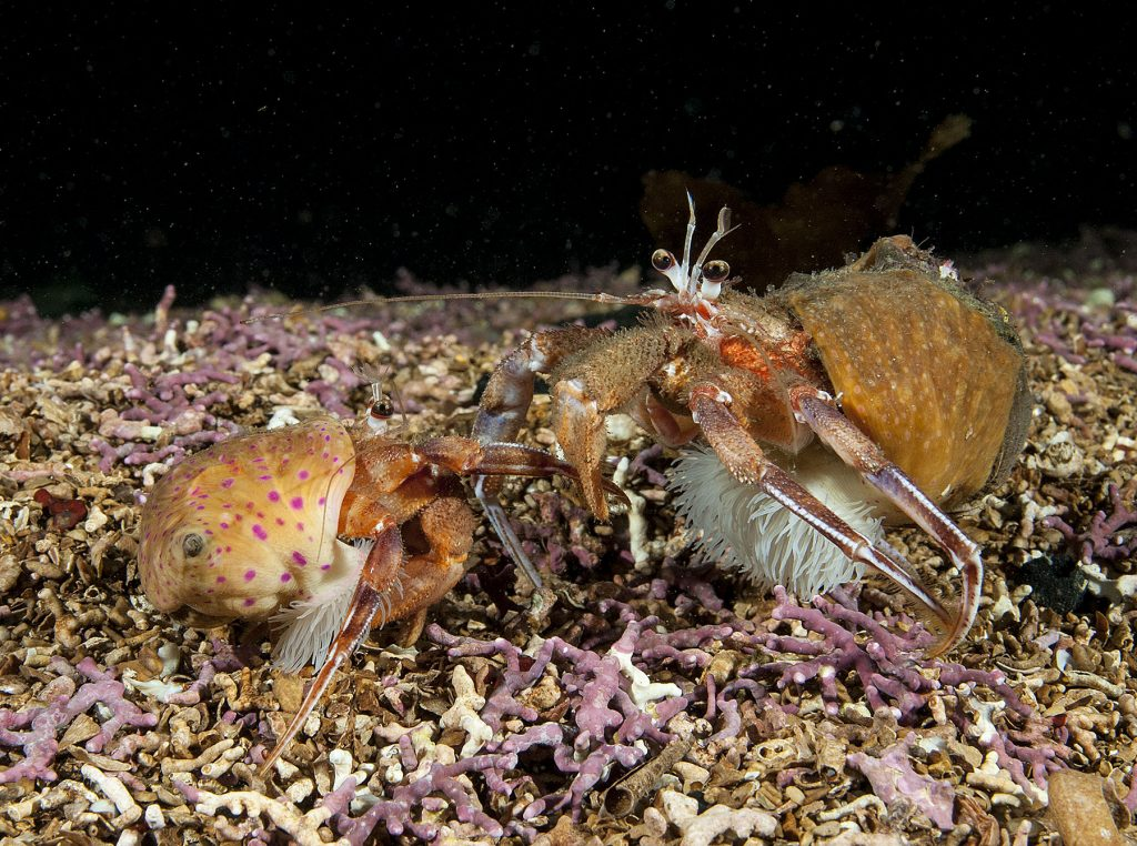 Anemone Hermit Crab Pair, On Maerl
