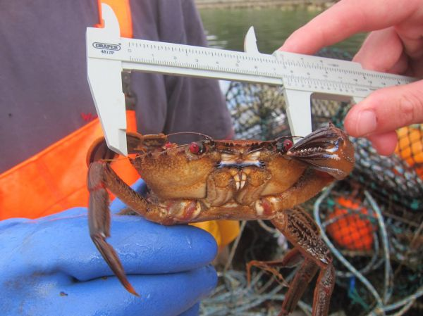 Measuring crab
