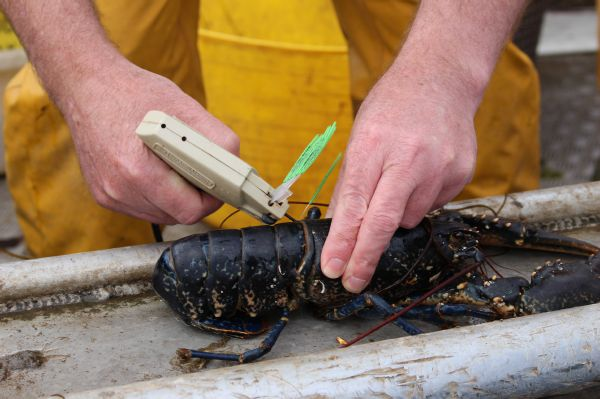 Research tagging lobsters