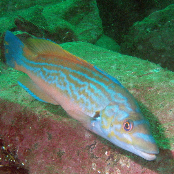 cockoo wrasse