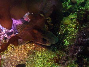 Kelp catshark