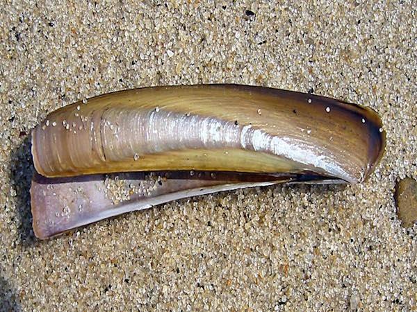 razor shell
