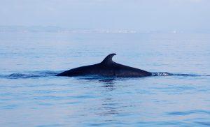 Minke whale © Jenny Stark