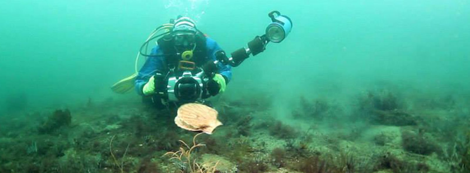 Diver photographing scallop